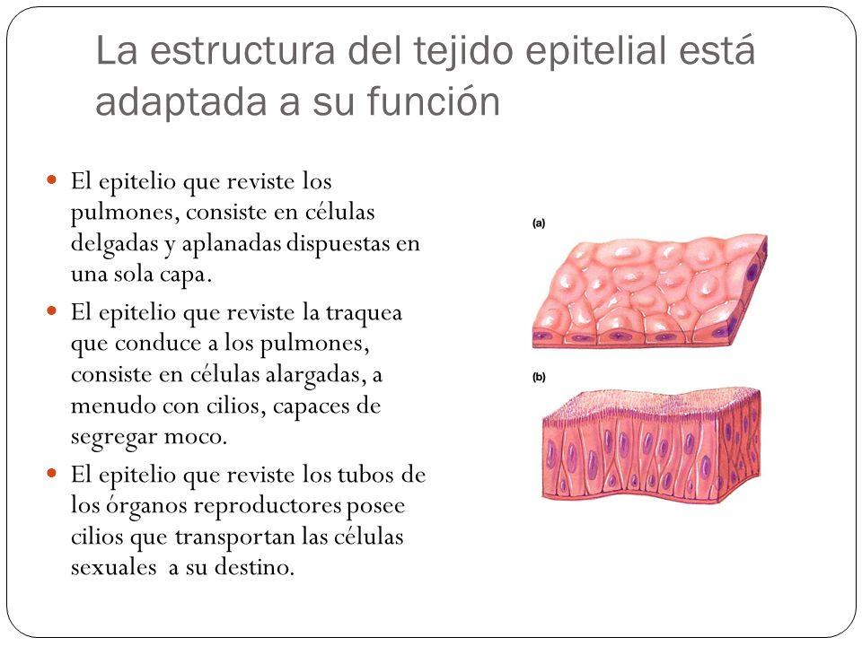 La estructura del tejido epitelial está adaptada a su función
