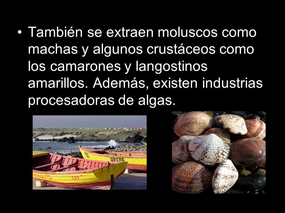 También se extraen moluscos como machas y algunos crustáceos como los camarones y langostinos amarillos.