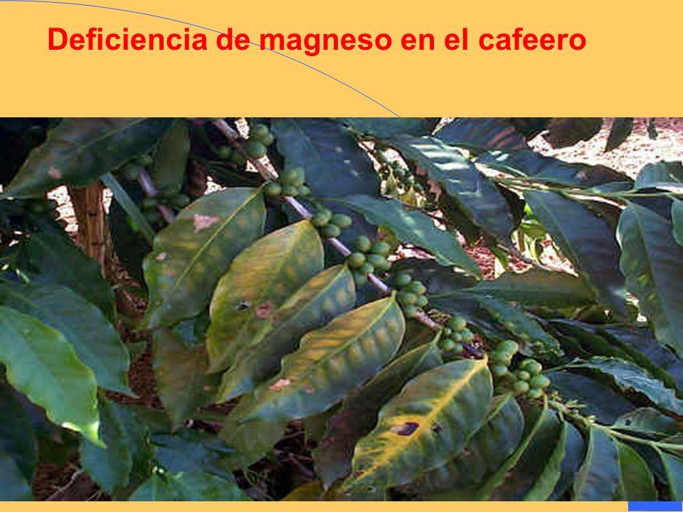 Deficiencia de magneso en el cafeero