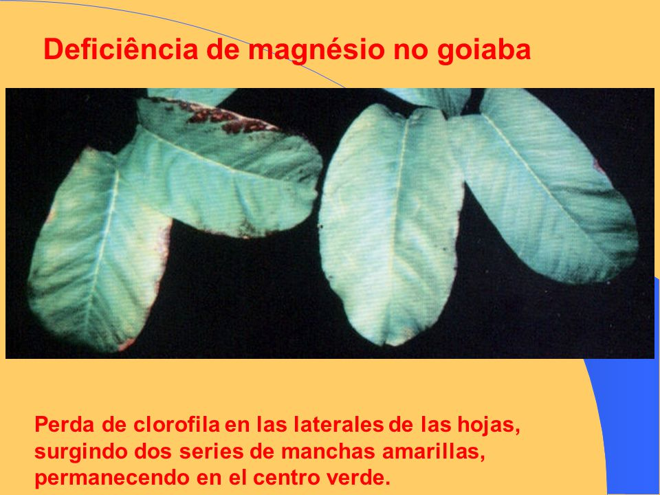 Deficiência de magnésio no goiaba