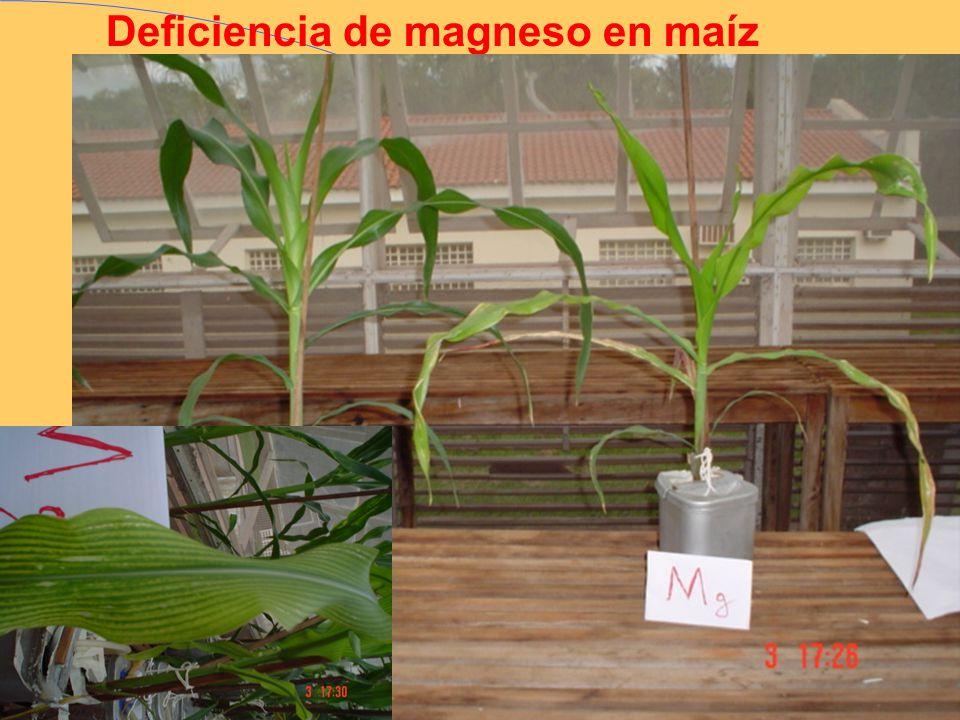Deficiencia de magneso en maíz