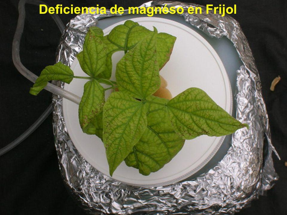 Deficiencia de magnéso en Frijol