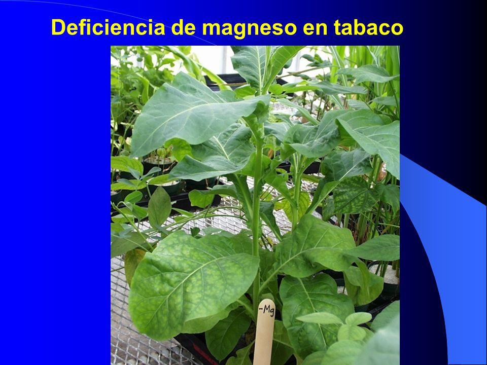 Deficiencia de magneso en tabaco