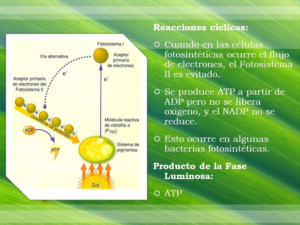 Reacciones cíclicas: Cuando en las células fotosintéticas ocurre el flujo de electrones, el Fotosistema II es evitado.