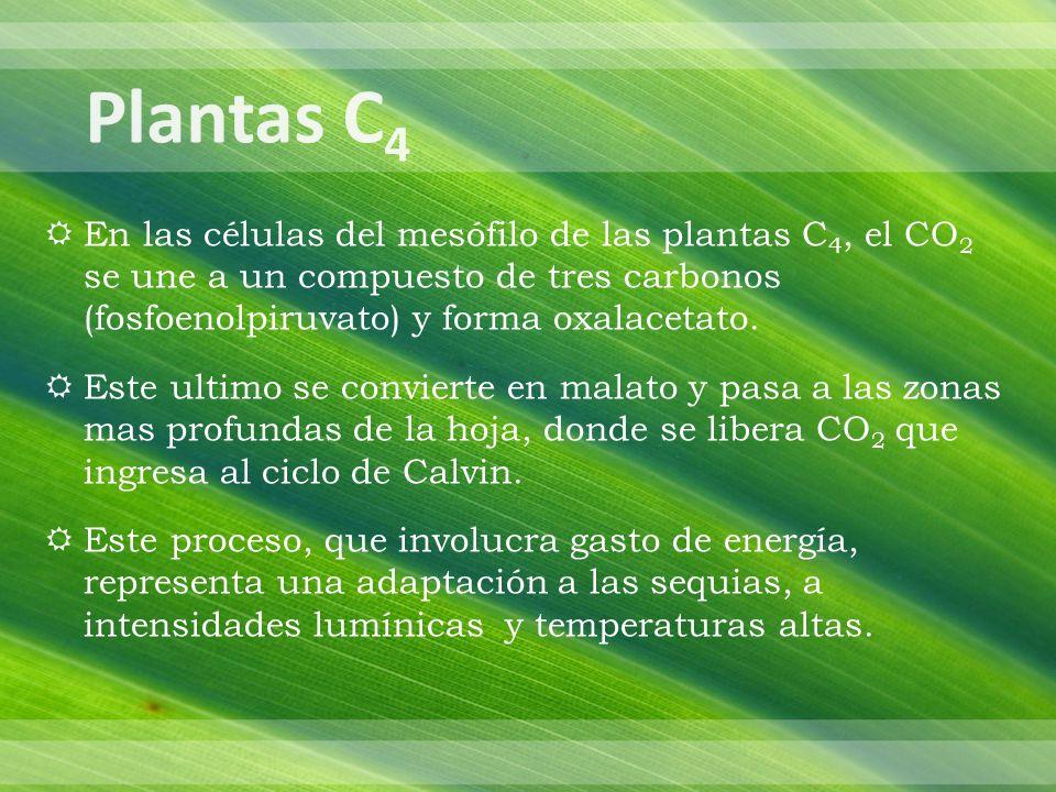 Plantas C4 En las células del mesófilo de las plantas C4, el CO2 se une a un compuesto de tres carbonos (fosfoenolpiruvato) y forma oxalacetato.