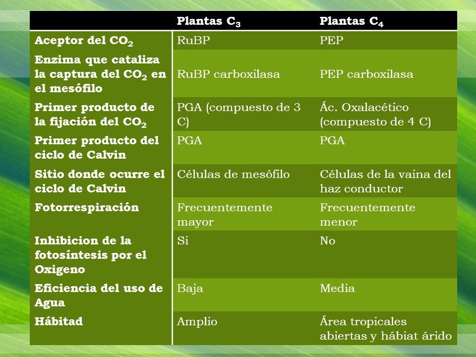 Plantas C3 Plantas C4. Aceptor del CO2. RuBP. PEP. Enzima que cataliza la captura del CO2 en el mesófilo.
