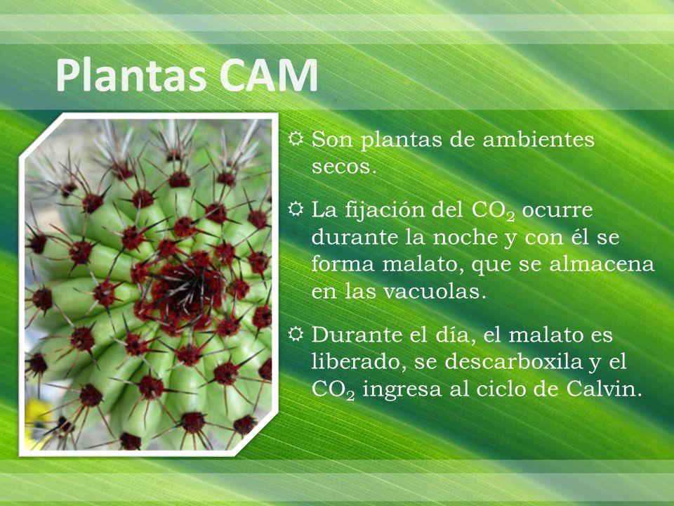 Plantas CAM Son plantas de ambientes secos.