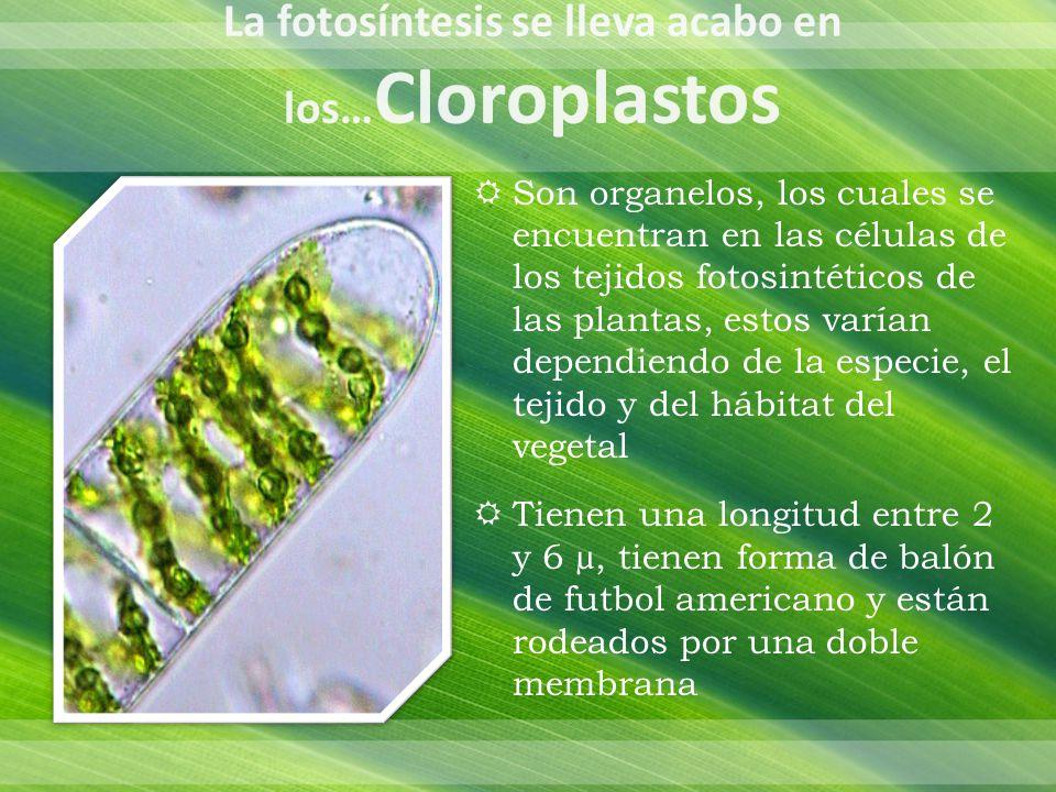 La fotosíntesis se lleva acabo en los…Cloroplastos
