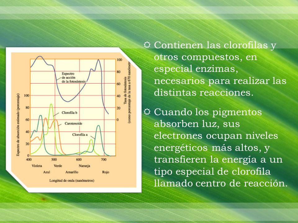 Contienen las clorofilas y otros compuestos, en especial enzimas, necesarios para realizar las distintas reacciones.