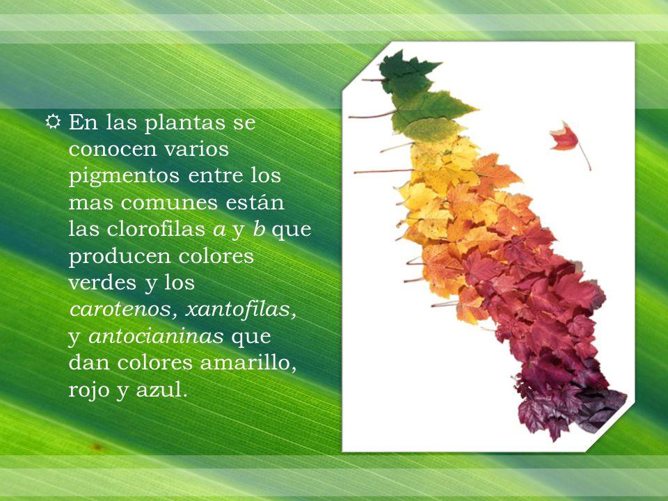 En las plantas se conocen varios pigmentos entre los mas comunes están las clorofilas a y b que producen colores verdes y los carotenos, xantofilas, y antocianinas que dan colores amarillo, rojo y azul.