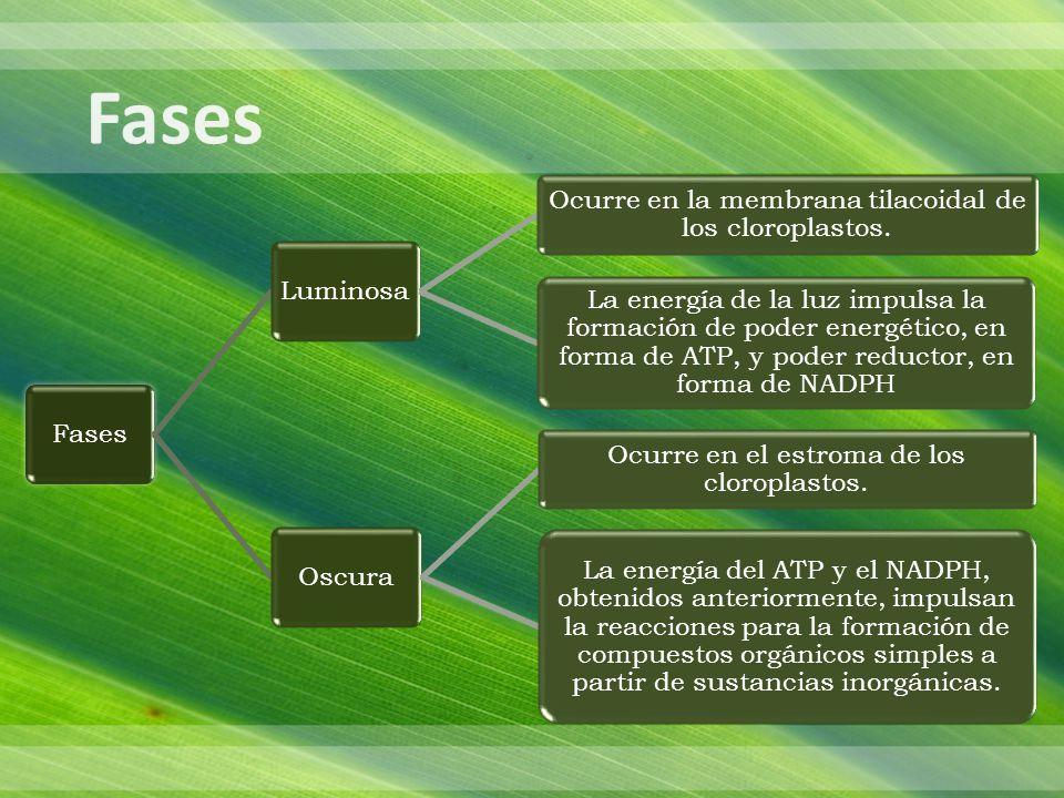 Fases Fases. Luminosa. Ocurre en la membrana tilacoidal de los cloroplastos.