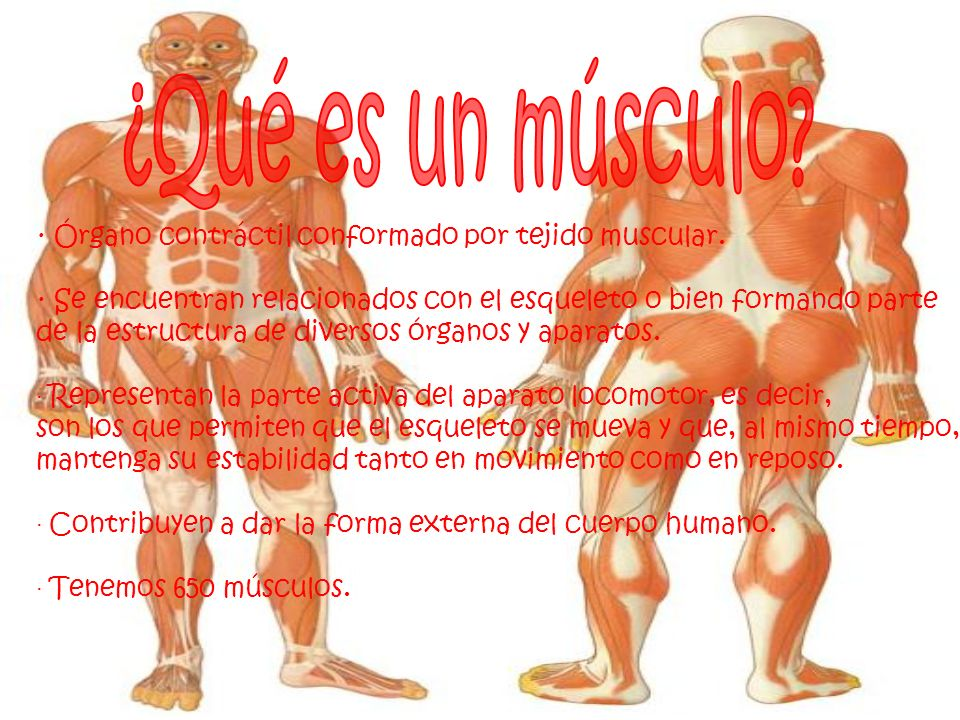 ¿Qué es un músculo · Órgano contráctil conformado por tejido muscular. · Se encuentran relacionados con el esqueleto o bien formando parte.