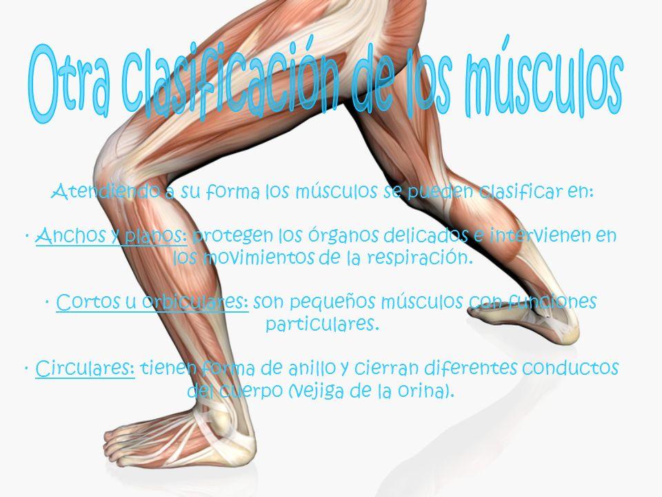Otra clasificación de los músculos
