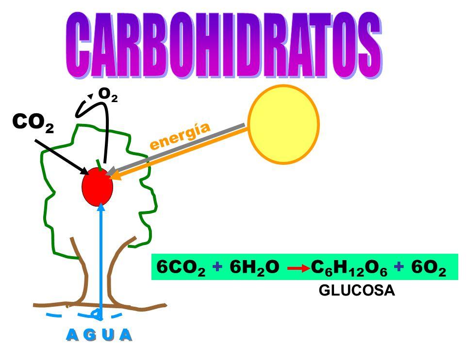 CARBOHIDRATOS O2 CO2 energía 6CO2 + 6H2O C6H12O6 + 6O2 GLUCOSA A G U A