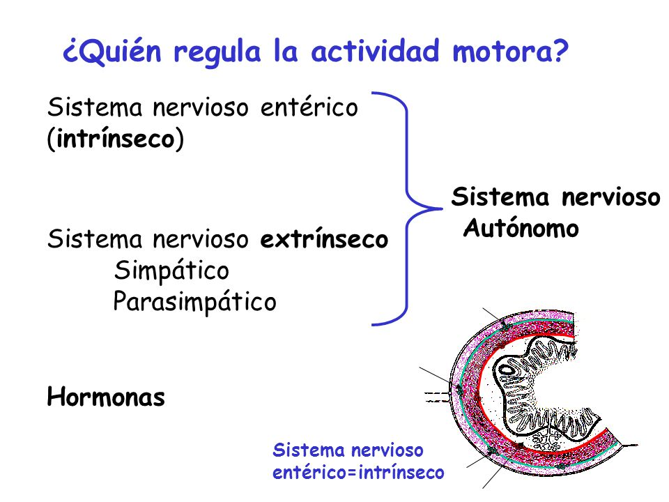 ¿Quién regula la actividad motora