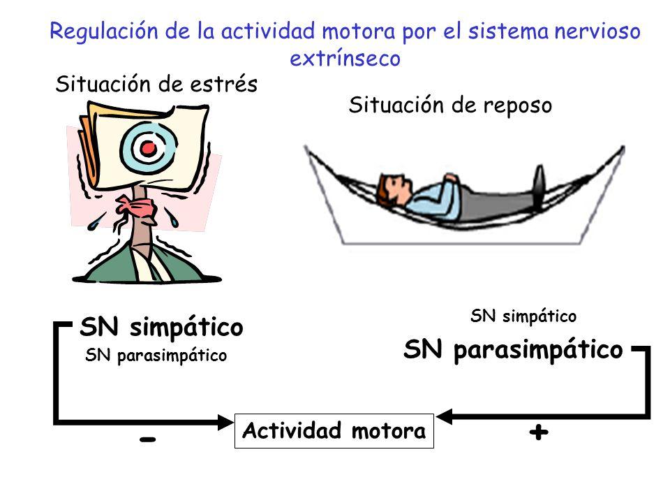 Regulación de la actividad motora por el sistema nervioso extrínseco