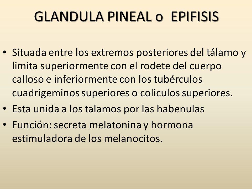 GLANDULA PINEAL o EPIFISIS