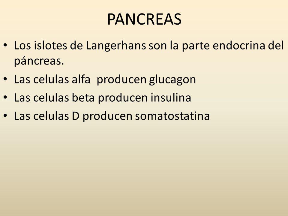 PANCREASLos islotes de Langerhans son la parte endocrina del páncreas. Las celulas alfa producen glucagon.