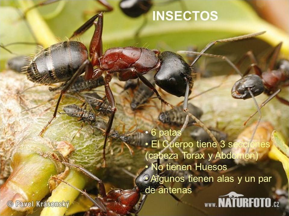 INSECTOS 6 patas El Cuerpo tiene 3 secciones (cabeza Torax y Abdomen)