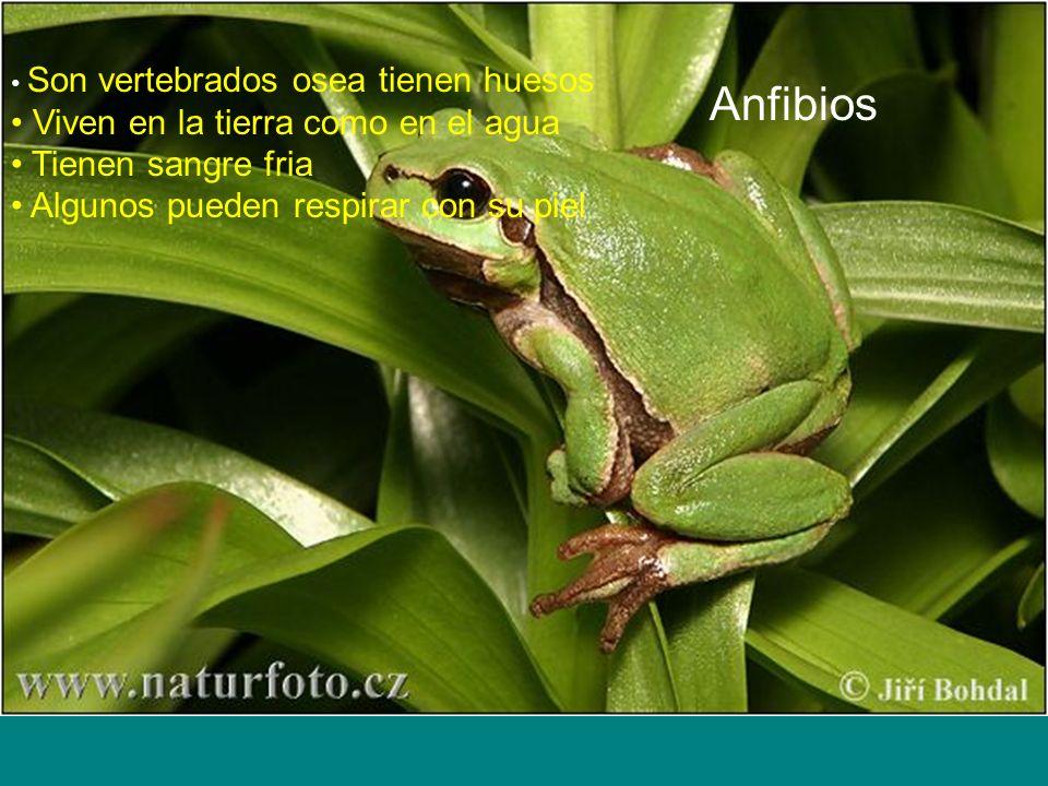 Anfibios Viven en la tierra como en el agua Tienen sangre fria