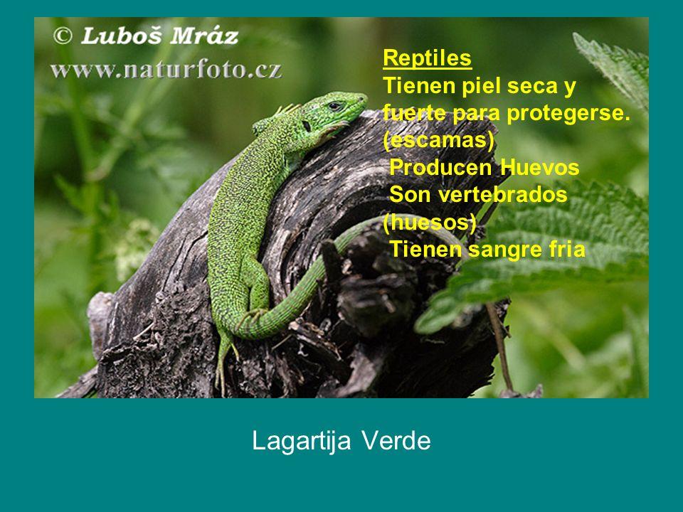 Lagartija Verde Reptiles