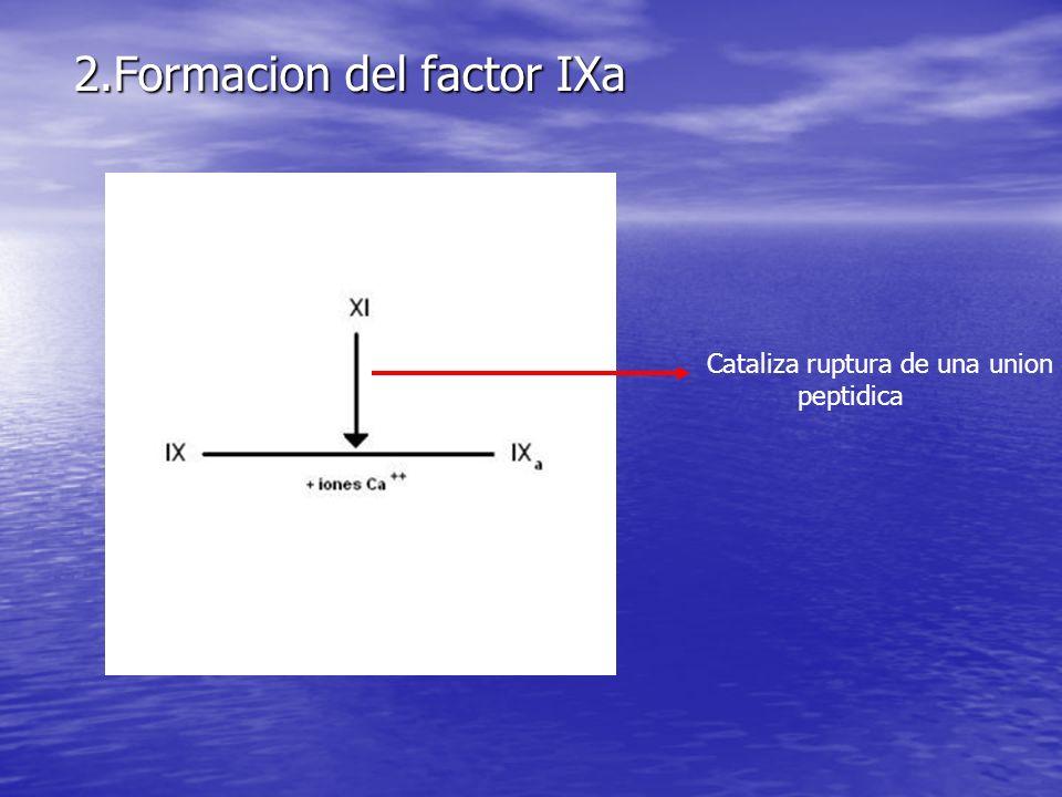2.Formacion del factor IXa