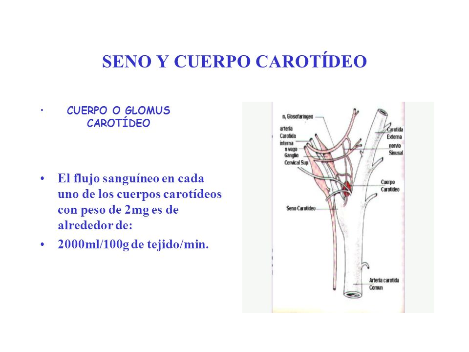 SENO Y CUERPO CAROTÍDEO