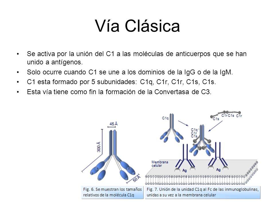 Vía Clásica Se activa por la unión del C1 a las moléculas de anticuerpos que se han unido a antígenos.