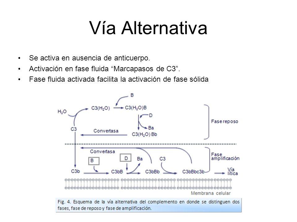 Vía Alternativa Se activa en ausencia de anticuerpo.