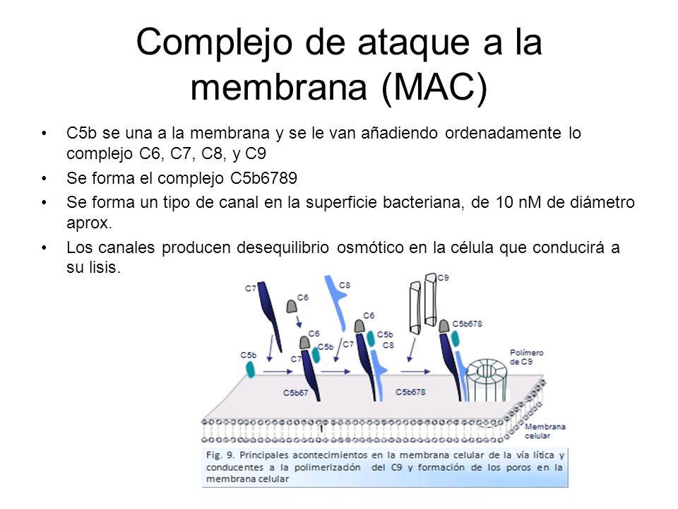 Complejo de ataque a la membrana (MAC)