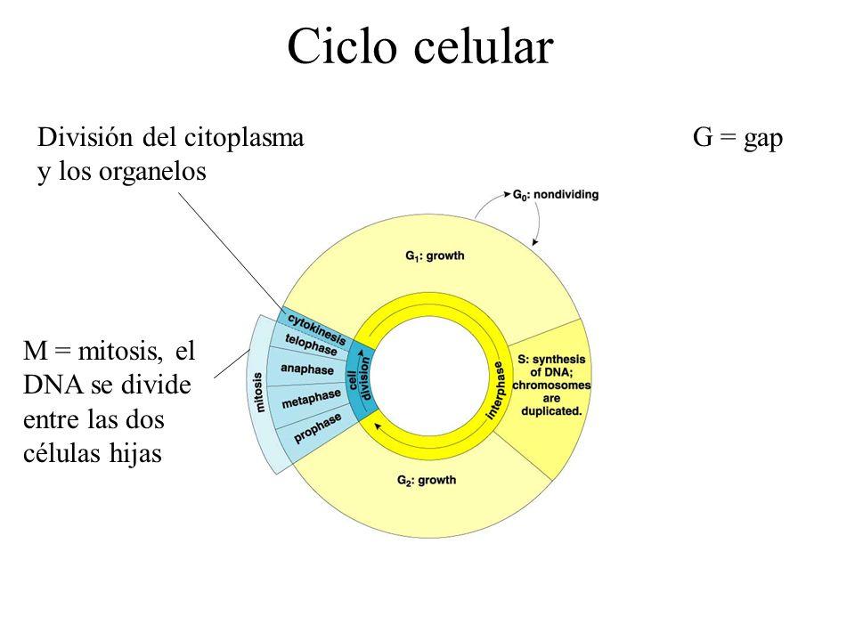Ciclo celular División del citoplasma y los organelos G = gap