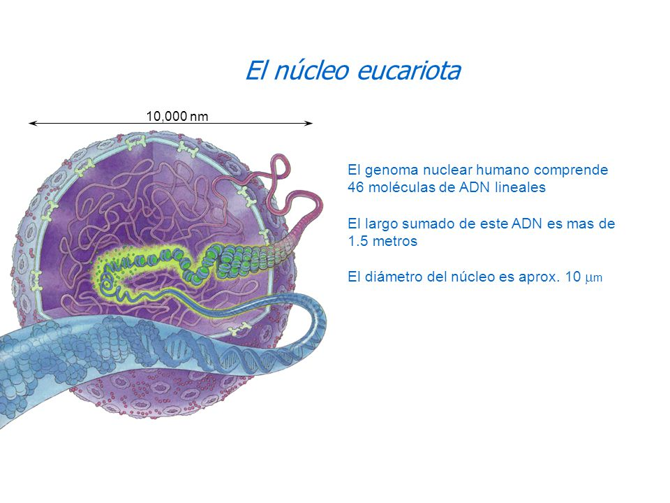 El núcleo eucariota 10,000 nm. El genoma nuclear humano comprende 46 moléculas de ADN lineales. El largo sumado de este ADN es mas de 1.5 metros.