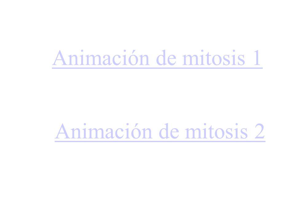 Animación de mitosis 1 Animación de mitosis 2