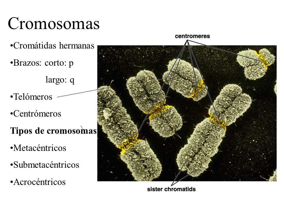Cromosomas Cromátidas hermanas Brazos: corto: p largo: q Telómeros