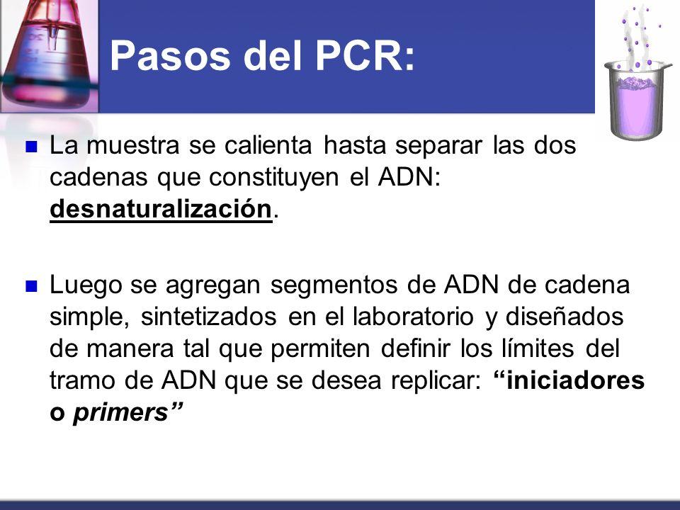Pasos del PCR:La muestra se calienta hasta separar las dos cadenas que constituyen el ADN: desnaturalización.