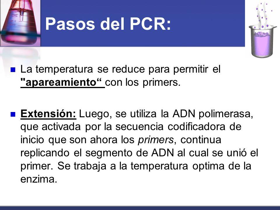 Pasos del PCR:La temperatura se reduce para permitir el apareamiento con los primers.