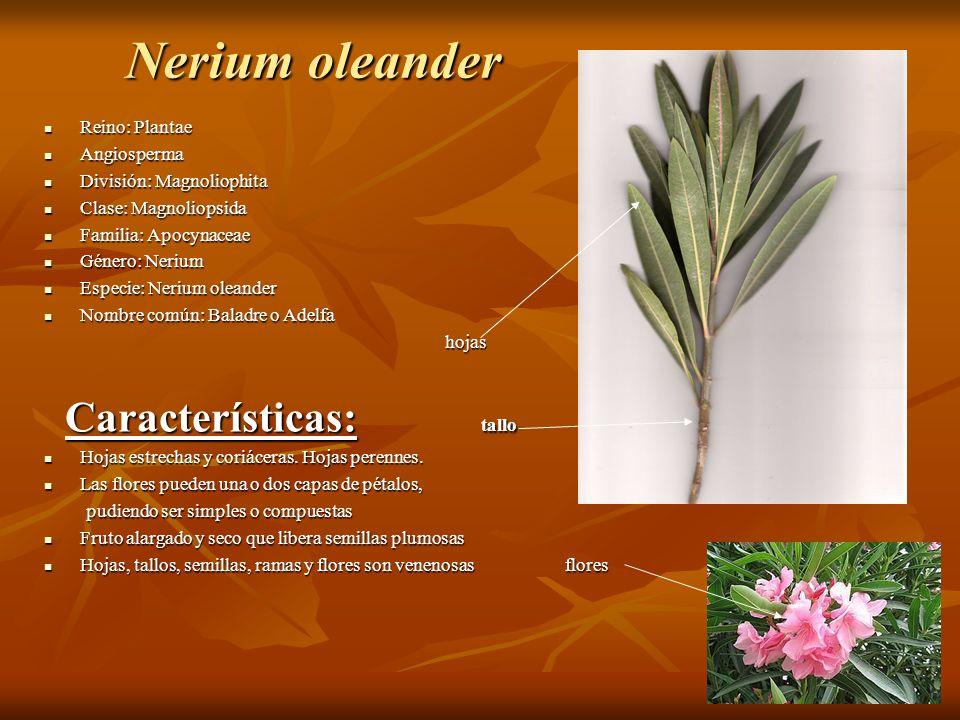 Nerium oleander Características: tallo Reino: Plantae Angiosperma