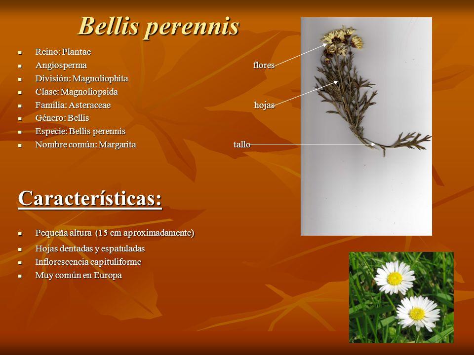 Bellis perennis Características: Reino: Plantae Angiosperma flores
