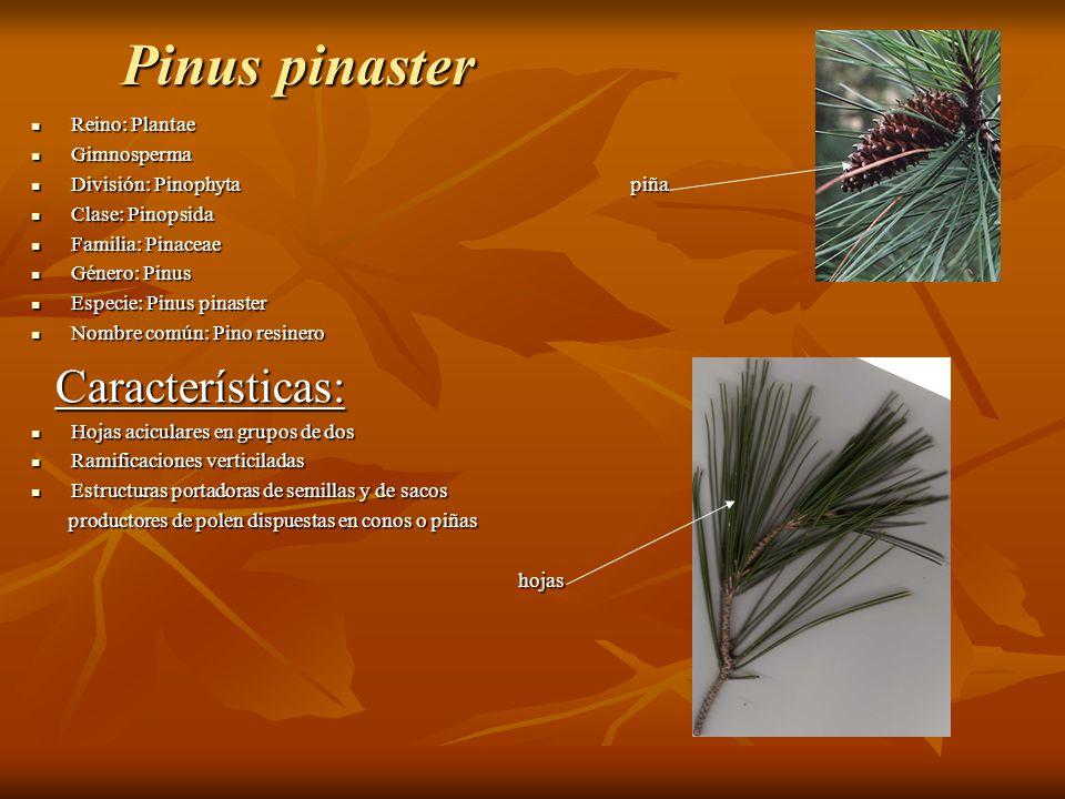 Pinus pinaster Características: Reino: Plantae Gimnosperma