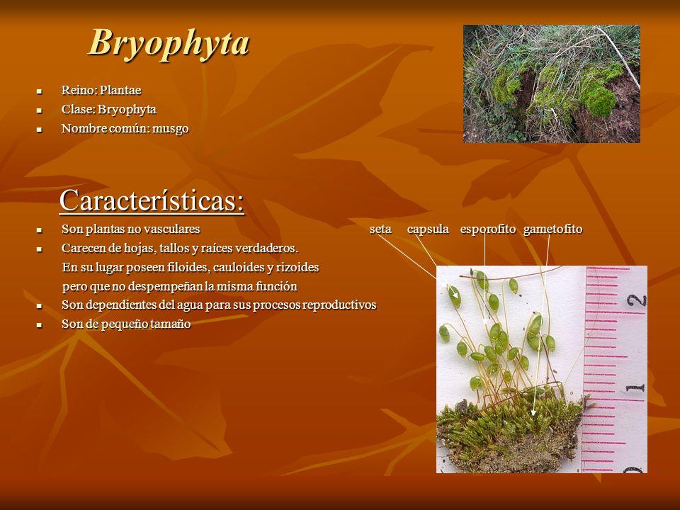 Bryophyta Características: Reino: Plantae Clase: Bryophyta