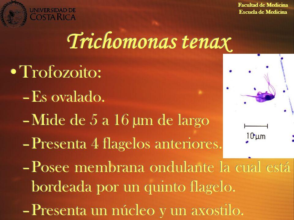Trichomonas tenax Trofozoito: Es ovalado. Mide de 5 a 16 µm de largo