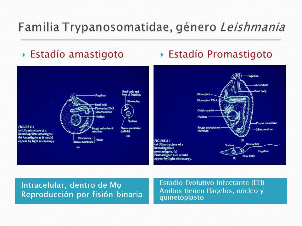 Familia Trypanosomatidae, género Leishmania
