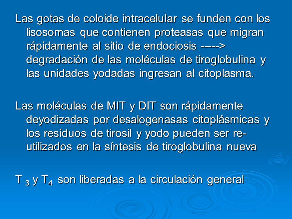Las gotas de coloide intracelular se funden con los lisosomas que contienen proteasas que migran rápidamente al sitio de endociosis -----> degradación de las moléculas de tiroglobulina y las unidades yodadas ingresan al citoplasma.