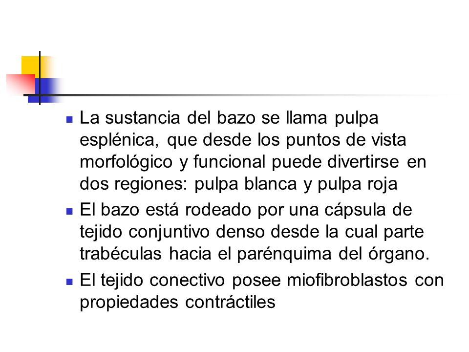 El tejido conectivo posee miofibroblastos con propiedades contráctiles