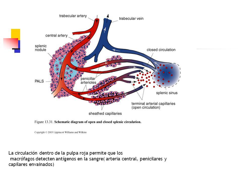 La circulación dentro de la pulpa roja permite que los