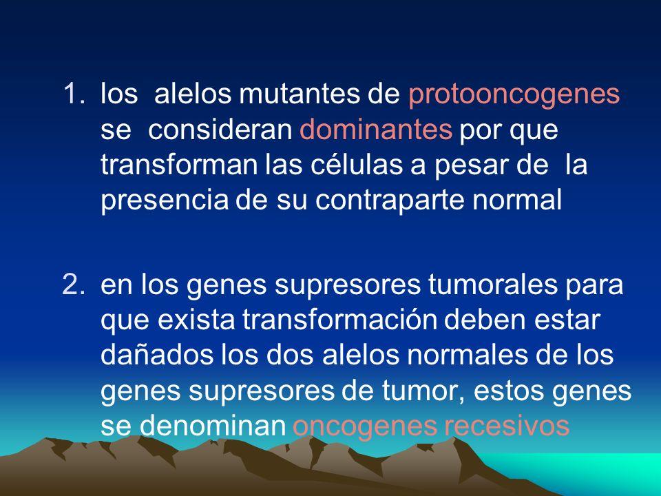 los alelos mutantes de protooncogenes se consideran dominantes por que transforman las células a pesar de la presencia de su contraparte normal