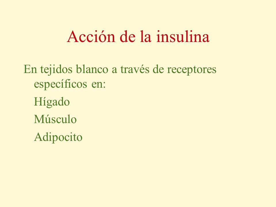 Acción de la insulina En tejidos blanco a través de receptores específicos en: Hígado.
