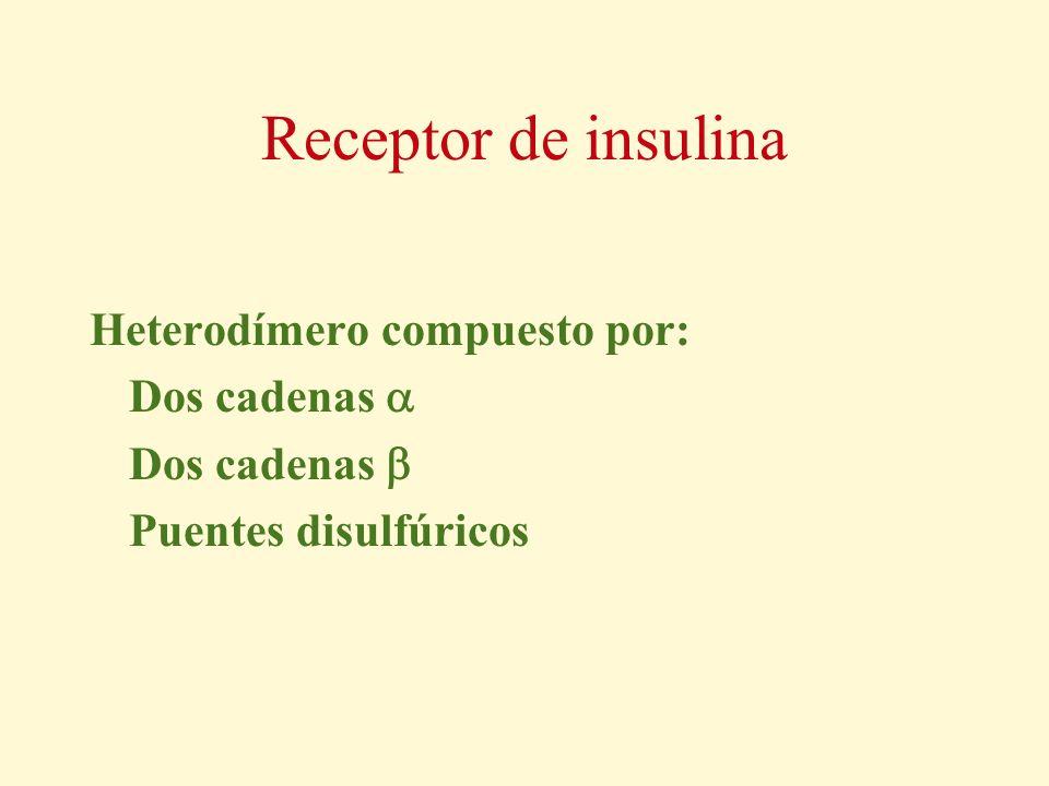 Receptor de insulina Heterodímero compuesto por: Dos cadenas 