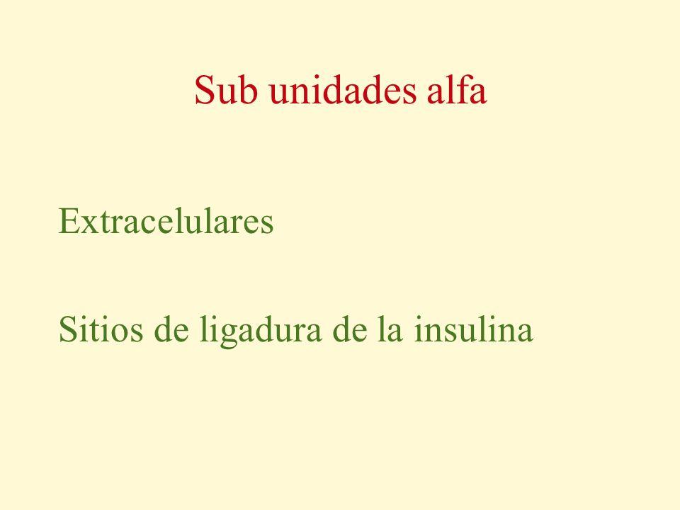 Sub unidades alfa Extracelulares Sitios de ligadura de la insulina