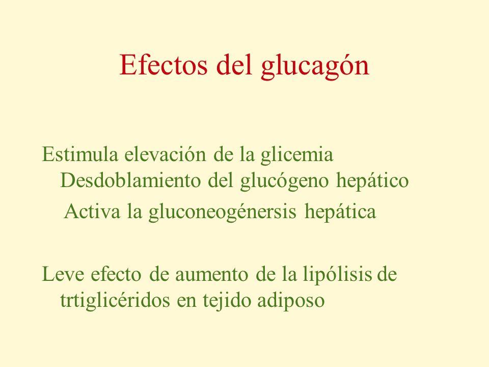 Efectos del glucagón Estimula elevación de la glicemia Desdoblamiento del glucógeno hepático.